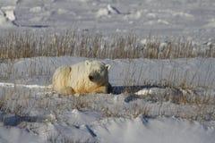 Isbjörn Ursus Maritimus och att ligga ner mellan gräs och snö, nära kusterna av Hudson Bay royaltyfria foton