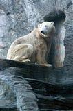 Isbjörn vänliga djur på den Prague zoo Arkivbild