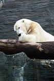 Isbjörn vänliga djur på den Prague zoo Arkivfoto
