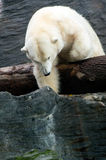 Isbjörn vänliga djur på den Prague zoo Royaltyfria Foton