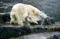 Isbjörn vänliga djur på den Prague zoo Fotografering för Bildbyråer