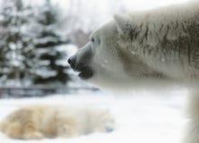 Isbjörnar Royaltyfri Foto