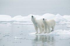 Isbjörnar på isberget royaltyfria bilder