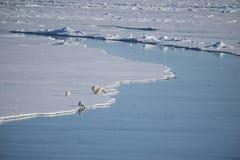 Isbjörnar som går på isen Arkivfoto