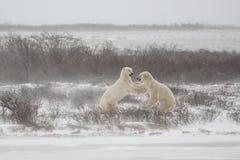Isbjörnar som knuffar, når att ha slagits/som munhuggas Fotografering för Bildbyråer