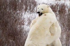 Isbjörnar som munhuggas i buskar Arkivfoton