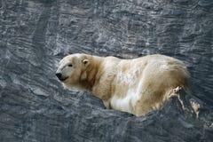 Isbjörnen är en isbjörn bland vaggar royaltyfria bilder