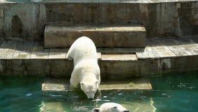 Isbjörnen behandla som ett barn att gå ner staisna in i pölen lager videofilmer