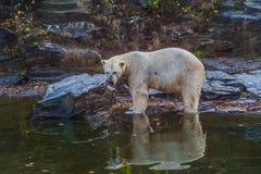 Isbjörnen i djur parkerar fotografering för bildbyråer