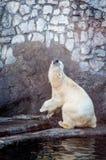Isbjörnen i ett roligt poserar Arkivfoton