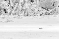 Isbjörnen kör längs en isisflak längs en glaciär, Svalbard, Spitsgergen fotografering för bildbyråer