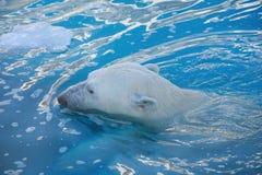 Isbjörnen simmar i havet Ursusmaritimus eller Thalarctos Maritimus royaltyfri fotografi