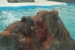 Isbjörnen simmar i inre av den prague zoo Arkivfoto