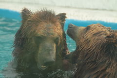 Isbjörnen simmar i inre av den prague zoo Arkivbild