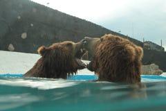 Isbjörnen simmar i inre av den prague zoo Royaltyfria Bilder