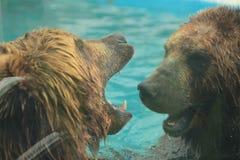 Isbjörnen simmar i inre av den prague zoo Royaltyfri Bild