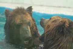Isbjörnen simmar i inre av den prague zoo Fotografering för Bildbyråer