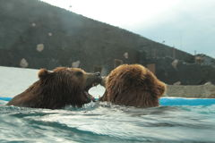 Isbjörnen simmar i inre av den prague zoo Arkivbilder