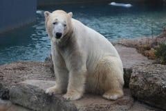 Isbjörnen, som ser lite ledset beskydd, är nödvändig för detta art Arkivfoto
