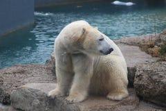 Isbjörnen, som ser lite ledset beskydd, är nödvändig för detta art Arkivbild