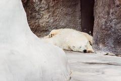 Isbjörnen sover arkivfoton