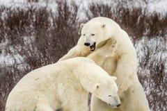 Isbjörnen vrålar och slåss Royaltyfri Fotografi