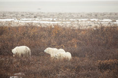 Isbjörnfamiljen söker efter mat i buskar Arkivfoton