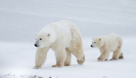 Isbjörnmamma och gröngöling som går på isen Fotografering för Bildbyråer