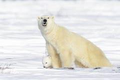Isbjörnmoder med gröngölingen royaltyfria bilder