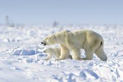 Isbjörnmoder med gröngölingen Arkivfoton
