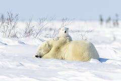 Isbjörnmoder med två gröngölingar arkivbilder