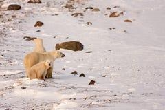 Isbjörnmoder och gröngölingar som granskar område Arkivbild