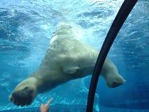 Isbjörns röv Arkivbilder