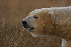 Isbjörnstående, simning, Ursusmaritimus royaltyfri bild