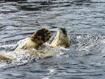 IsbjörnUrsus Maritimus som kopplar av, när simma arkivbilder