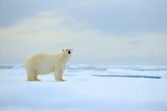Isbjörn farligt seende fä på isen med insnöade norr Ryssland, naturlivsmiljö Royaltyfri Fotografi