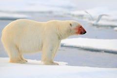 Isbjörn farligt seende fä på isen med snö, rött blod i framsidan i norr Ryssland Arkivfoton