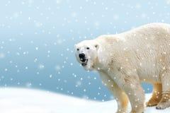 Isbjörn med den fallande snödekoren Arkivfoton