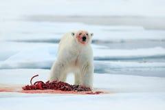 Isbjörn på drivais med snö som matar den blodiga byteskyddsremsan, skelettet och blod, Svalbard, Norge, vitt stort djur i naturHe Arkivbild