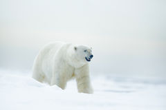 Isbjörn på drivais med snö, suddig trevlig guling och blå himmel i bakgrund, vitt djur i naturlivsmiljön, Ryssland Arkivfoto