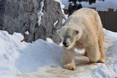 Isbjörn som går på snön Arkivfoto