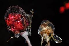 Isblommor, rosor som frysas natt Royaltyfri Fotografi