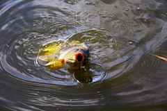 Isca de travamento da carpa no fim da água acima Imagem de Stock