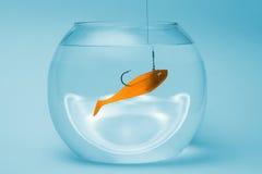 Isca dos peixes do ouro em uma bacia Foto de Stock Royalty Free