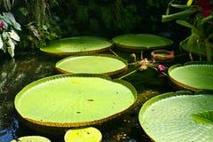 ISCHIA, ITALIË - AUGUSTUS, 30: Bloemen van Victoria waterlily, 30 Augustus, 2011 Royalty-vrije Stock Foto