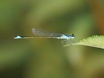 Ischnura elegans, αρσενικό Στοκ Φωτογραφίες