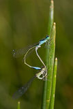 Ischnura elegans. Pair of Blue-tailed Damselfly (Ischnura elegans) in copula Royalty Free Stock Photography