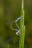 Ischnura elegans Royalty Free Stock Photography