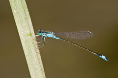 Ischnura elegans. Male of Blue-tailed Damselfly (Ischnura elegans Royalty Free Stock Images