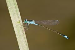 ischnura elegans Стоковые Изображения RF